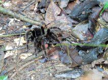 Ah, a tarantula.