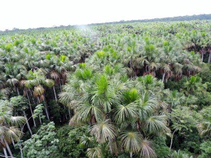 Water Palms