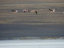 Flamingos formation flying.