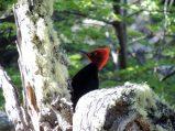 Large woodpecker.