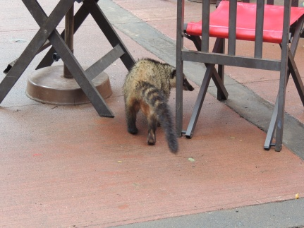 Coati on a lunch break.
