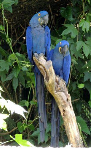Pair of parrots.